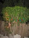 Vign_arbre_de_noel_